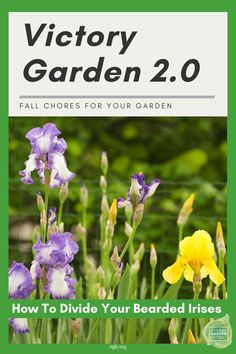 Victory Garden 2.0 Fall Chores : How to divide your bearded irises - Year of the Iris - National Garden Bureau Amazing Gardens, Beautiful Gardens, Victory Garden, Replant, Organic Gardening Tips, Bearded Iris, Spring Is Here, Grow Your Own Food, Autumn Garden