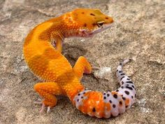 leopard gecko, tangerine