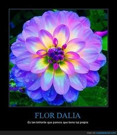 Dahlia–It almost glows!- Dahlia–It almost glows! Dahlia–It almost glows! Unique Flowers, Exotic Flowers, Amazing Flowers, Pretty Flowers, Prettiest Flowers, Colorful Flowers, Vibrant Colors, Neon Flowers, Flowers Bunch