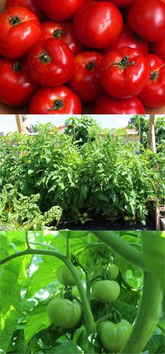 5 tried-and-true techniques we learned on how to grow tomatoes like an expert and get a big harvest: over 100 lbs in 20 square feet! - A Piece Of Rainbow Tips For Growing Tomatoes, Growing Tomato Plants, Growing Tomatoes In Containers, Growing Veggies, Grow Tomatoes, Baby Tomatoes, Garden Plants Vegetable, Tomato Garden, Veggie Gardens