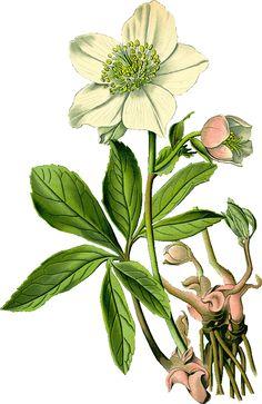 Winterharde plant. Helleborus niger.