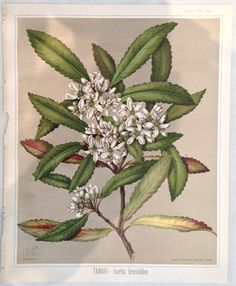 Sarah Featon, TAWARI — lxerba brexioides - Sara FEATON  Hand-coloured engravings from The Art Album of New Zealand Flora, 1889. It contained descriptions of the native flowering plants of New Zealand and the adjacent islands.