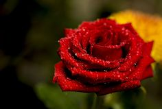 Rose Rose I love You by Douglas Liang on 500px