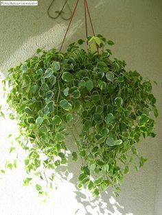 ....Adenium Blog....: Plantas ornamentais boas para apartamento. House Plants Decor, Plant Decor, Hanging Plants, Indoor Plants, Plant Magic, Nature Plants, Little Plants, My Dream Home, Gardening Tips