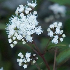 Eupatorium rugosum chocolate - Eupatoire à feuillage chocolat et fleurs blanches Trees To Plant, Dandelion, Chocolate, Flowers, Late Summer, Gardens, Perennial Plant, White Flowers, Patio