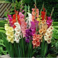 100 шт./пакет, гладиолус, цветок гладиолуса семена, гладиолусы семена красивые садовые растения купить на AliExpress