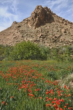 Poppy fields in the Southern Atlas Mountains, Morocco