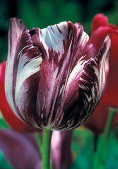 semper augustus tulips