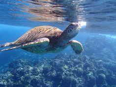 Black Rock - Ka'anapali, Maui: Great for cliff diving, snorkeling, diving, sunsets and turtle viewing!