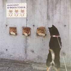 "15.2k Likes, 264 Comments - @kensan246 on Instagram: ""3 Shiba and Hana. こんにちは。 島原市の有名3柴ーズに会ってきたよー 夏に行った時は会えなかったから、よかった、よかった。 #dog #pet #shiba #shibainu…"""