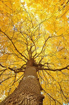 I will have one of these trees! Beautiful in the fall - Ginkgo biloba