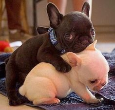 Sweet baby-Frenchies