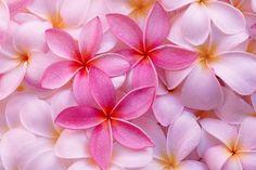 花,ハワイ,ピンク,プルメリア