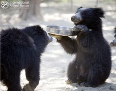"""Dinner, sir?"" - Digit & Peanut at the Agra Bear Rescue Facility. Photo copyright Roger Allan."