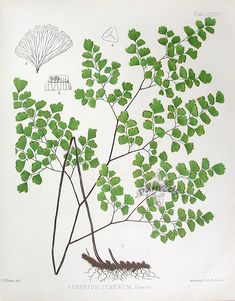 Fern Lithographs