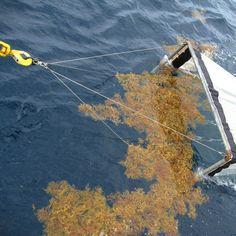 Какое море считалось непроходимым для кораблей? Саргассово море.