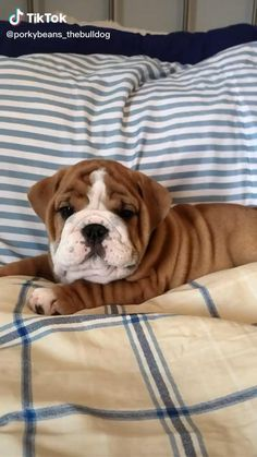 Cute Bulldog Puppies, Cute Bulldogs, English Bulldog Puppies, Cute Baby Dogs, Cute Funny Dogs, Cute Dogs And Puppies, Cute Funny Animals, Cute Baby Animals, Cute Animal Pictures