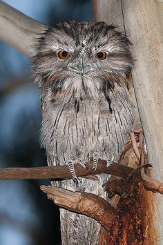 Tawny Frogmouth: throughout the Australian mainland, Tasmania and S New Guinea. Frogmouths are not raptorial birds