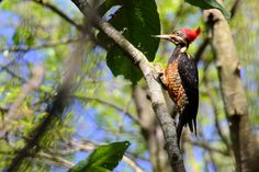 Foto pica-pau-de-banda-branca (Dryocopus lineatus) por Tiago Degaspari | Wiki Aves - A Enciclopédia das Aves do Brasil