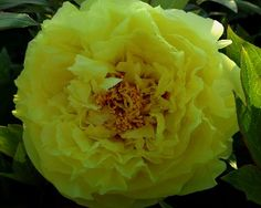 Yellow Crown ~ Itoh Hybrid - Paeonia Yellow Crown is a Midseason Itoh Hybrid Peony, semi-double, yellow with a hint of red at the base of the petals, slow grower, attractive plant for in the garden, (Itoh-Smirnow 1974). www.peonyshop.com