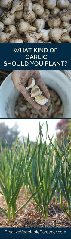 Learn about all of the different kinds of garlic to choose from this fall.
