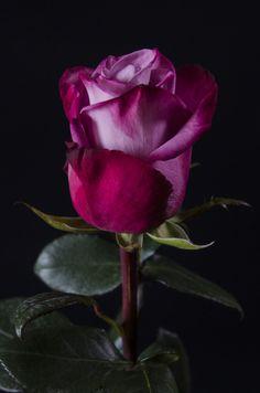 MOODY BLUES - Eden Roses Ecuador #Flowers #Roses #Ecuador #PrimeroEcuador #Ecuador #Rose #MitadDelMundo #ThePleasureOfBeauty #edenrosesec #EdenRosesEcuador