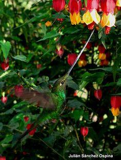 Ensifera ensifera (Sword-billed Hummingbird) (Colibrí pico de espada) by Hector Julian Sanchez Ospina, via Flickr