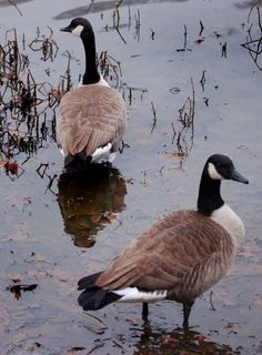 Canada geese---many stay in the Middle Rio Grande Valley on NM