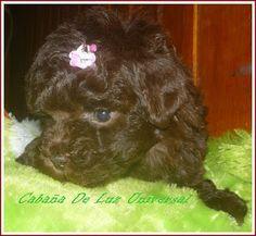 Caniche Micro Toy. #caniches  #canichesmicrotoy #cachorros