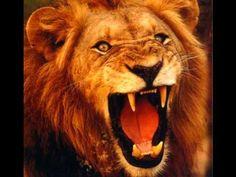 Rugido dos Grandes Felinos - parte 1 (roars of big cats)