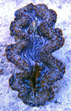 Blue squamosa clam Is this the real colour?  I've seen some amazing ones but this is extraordinary.