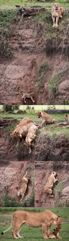 Moral of the story: stop letting baby lions near cliffs & ledges