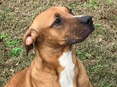 Jackson is an adoptable Dog - Labrador Retriever & Boxer Mix searching for a forever family near Watertown, CT. Use Petfinder to find adoptable pets in your area.