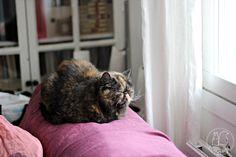 Oravanpesä | Eksoottinen lyhytkarva kissa