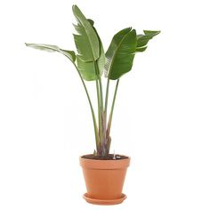 Green lifestyle store XXL Strelitzia (Paradijsvogelplant) incl. pot Lifestyle Store, Staycation, Sweet Home, New Homes, Plants, Groot, Mavis, Nice, Interior