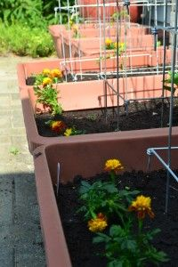 Marigold defense: Will these soldiers keep the bunnies away?