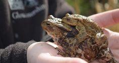 Toad's Most Perilous Journey | Gloucestershire Wildlife Trust