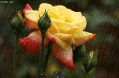 Flowers In The Rain   Animated Flowers In The Rain   Wallpapers  picture: SMS Forums Latest ...