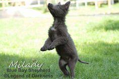 Large Dog Breeds, Large Dogs, Blue Bay Shepherd, Shepherd Dogs, German Shepherds, Akita, Crosses, Fur Babies, Husky
