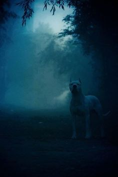 The Dogo Argentino - Le Dogue Argentin #Dog #Chien