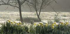 Narcissus in the Fog  (Carol Casselden)