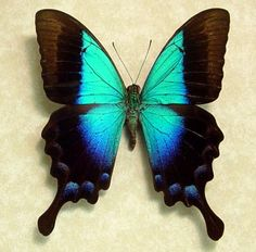 Blue Glosswing  Papilio Pericles