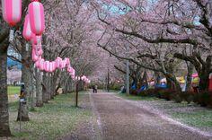 332:「桜に囲まれた別天地です。」@忠元公園
