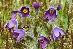 SOLIGT OCH TORRT – Alla läckra växter kommer inte från Asien eller Nordamerika. Upp till Mälardalsområdet växer backsippa, Pulsatilla vulgaris, naturligt i torra backar, även om det inte är i något överflöd. I trädgården passar de där det är torrt och soligt, till och med under takutsprånget invid väggen. De blommar tidigt från april men har dessutom fröställningar i form av håriga bollar som är nästan lika snygga som blommorna och pryder sin plats länge efteråt. Den här sorten heter 'Blaue… Plants, Sun, North America, Asia, Plant, Planting, Planets