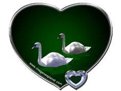 Imagenes animadas de cisnes en agua y corazon
