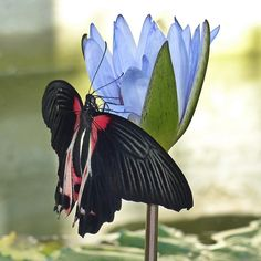 Scarlet Swallowtail / Papilio rumanzovia on a beautiful Water Lily