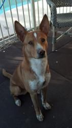 Jake is an adoptable Basenji Dog in Scottsdale, AZ. Jake is a high energy boy. He loves to hike, romp and run at the dog park. He still has a lot of puppy in him. He is a beautiful dog with an intelle...