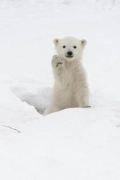 Baby Polar Bear - High Five- I'm so cute ! don't you want to come a little closer ? No ! My mommy isn't here, it's just me ! HONEST !