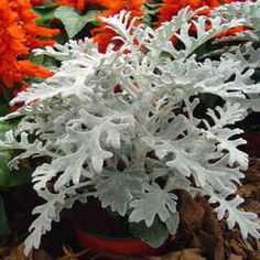 (Syn. Cineraria maritima) Dusty Miller has a crisp new look, and you can get it no matter what type of climate you garden in! Silverado is a neat, compact variety known for its uniform size and terrific resistance to bad weather from rain and wind to heat and dry soil. Make it part of your garden this season!These plants reach just 10 to 12 inches high and wide, without stretching, flopping, or becoming rangy as the season progresses. They even tolerate a bit of frost, and keep their tidy, ...
