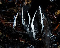 Xylaria Hypoxylon. 'Carbon Antlers, or carbonsnuff fungus'